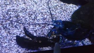 The world's largest shrimp.