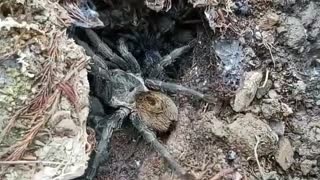 Furry Spider With Scurrying Babies