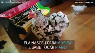 Galinha mostra seu talento tocando piano