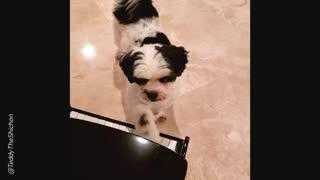 Cute Teddy Bear Dog Plays Piano