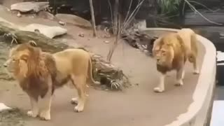 Lion falls into water funy