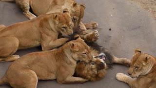 lioness kills the lion