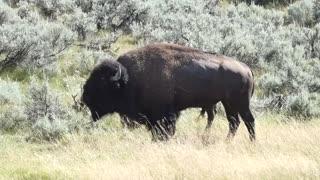 Wild Buffalo in Wyoming