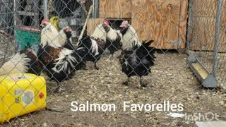 Salmon Favorelle cockerels