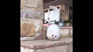 White dog Falling Down Stairs