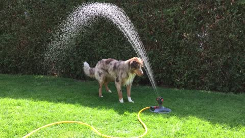 Australian Shepherd discovers how to play with lawn sprinkler