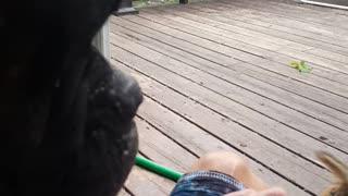Boxer Puppy Feeds the Chipmunk