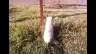Cat - Ninja cat MMIAAAUUU - AnimalLifeComedy