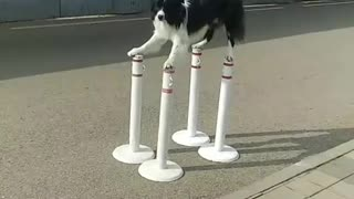 Doggy Shows Perfect Balancing Performance