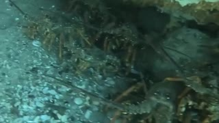 Diver Swims Through Colony of Crayfish