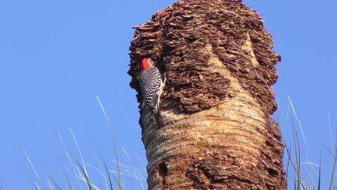 Red-Bellied Woodpecker in Florida wetland