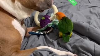 Pit Bull and Parrot Argue Over Toy