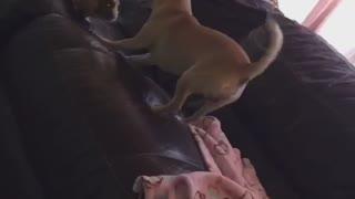 Amazing animal friendships: Doggy & guinea pig BFF's