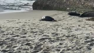 Chubby seal hops back to the ocean