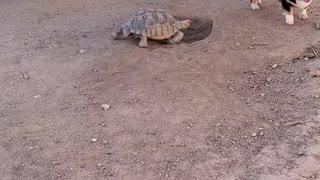 Tortoise and Corgi Playing Tag