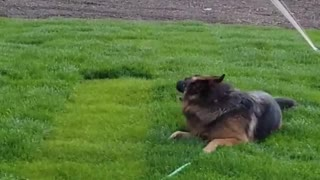 German Shepard dog playing with water in my garden