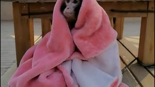 Baby baboons cover their own quilt