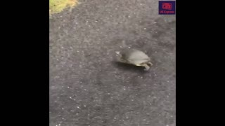 Suspiciously quick turtle escape from police chase