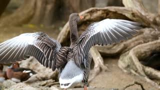 Beautiful Goose Spreading Wings | Very Beautiful |