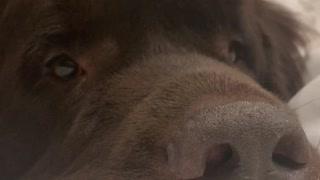 Sweet Newfoundland doggy politely asks for food