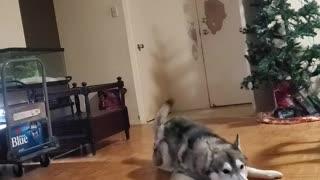 Husky Holds His Christmas Stuffed Toy High