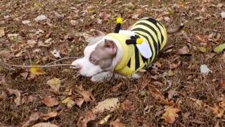 Dog backyard brown leaves bumble bee costume