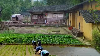 Farming in Asia ||🐼 agriculture is culture