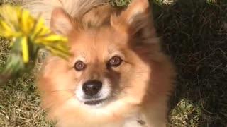 Small tan dog jumps at yellow flower