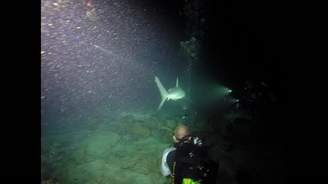 Large Shark on Night Dive!