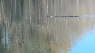 Alligator swimming.