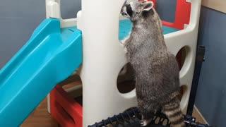 Overweight raccoon fails to climb playground