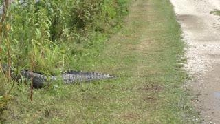 BIG alligator crossing