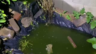 Toads Mating and Calling