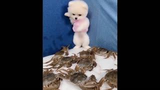😍 Funny and Cute Pomeranian #4 😍 Perritos bebes lindos 🐱💗