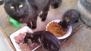 Stray cat eating with her kittens