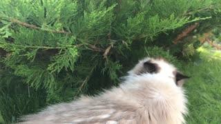 fluffy cat walks on a lawn