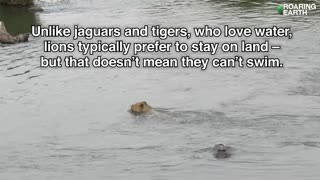Crocodile Attacks Lion in River