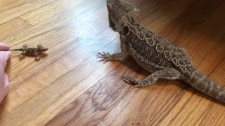 Bearded Dragons Tries to Eat Toy Bearded Dragon