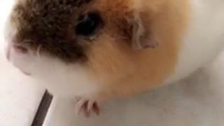 Guinea pig eating carrot