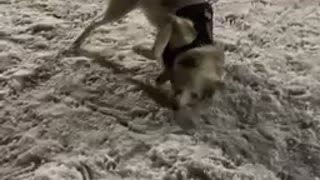 Super excited husky can't contain excitement for fresh snowfall