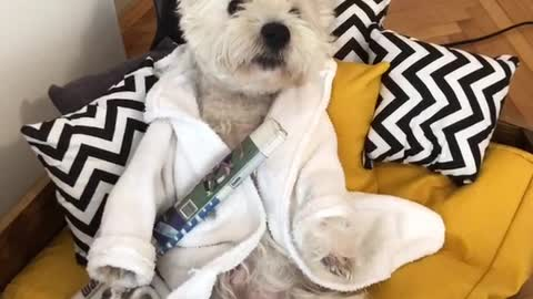 Construction workers ruin Westie's morning chill time