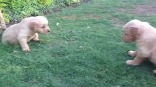 Cutest Golden Retriever Puppies!