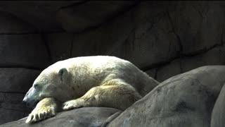 Relaxed polar bear