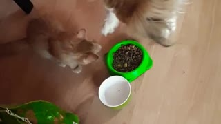 Gentle dog shares food with kitten friend