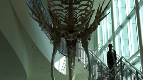 Dinosaur Bones on the ceiling at the Museum of the North of University of Alaska in Fairbanks