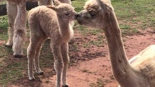 Alpaca mom transfers vital bacteria to her baby