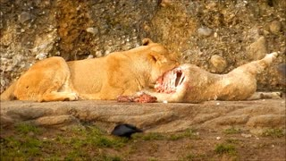 The lion eats and the birds watch
