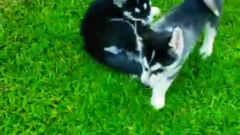 Husky puppies plays together