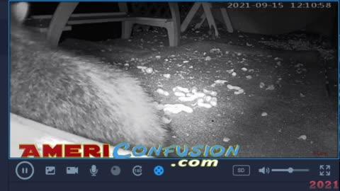 Raccoon Late Night Fun On Porch