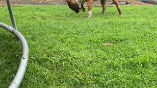 Bouncy Bull Terrier